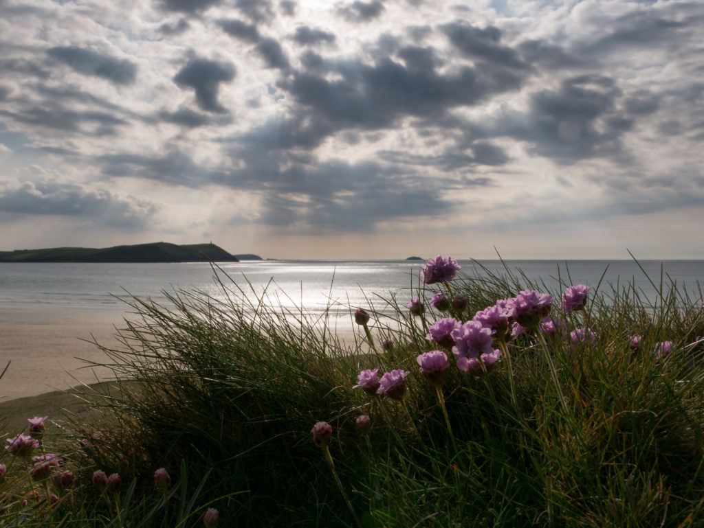 sea thrift with dramatic sky behind at Polzeath Cornwall
